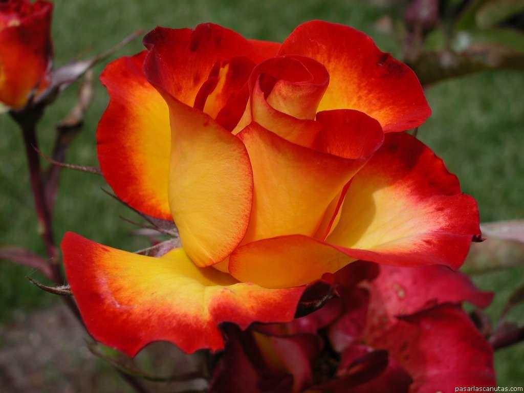 Trandafirul, cea mai iubita floare