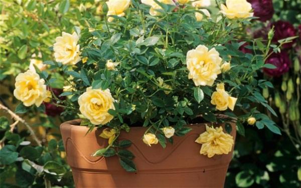 Cultivarea trandafirilor