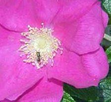 Beneficiile trandafirului rosa mosqueta