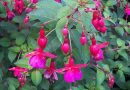 Fuchsia, ingrijire si inmultire