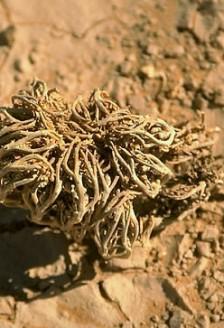 Trandafirul de Ierihon, miracolul din desert